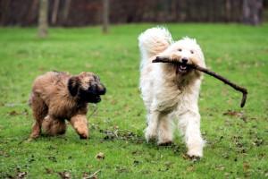 játszó kutyák_1