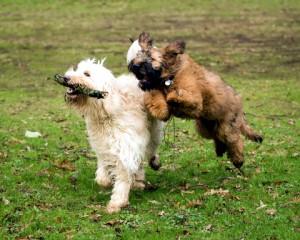 játszó kutyák_2