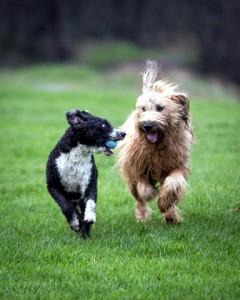 játszó kutyák_3