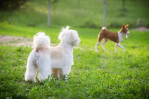 játszó kutyák_4